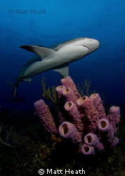 Reef Shark on a beautiful Bahamas Reef by Matt Heath